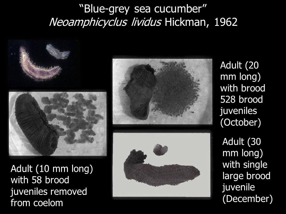 Blue-grey sea cucumber Neoamphicyclus lividus Hickman, 1962 Adult (10 mm long) with 58 brood juveniles removed from coelom Adult (20 mm long) with bro