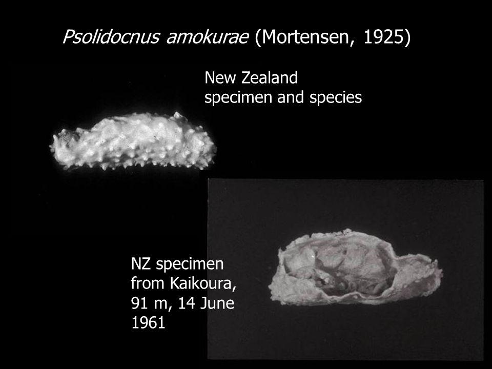 Psolidocnus amokurae (Mortensen, 1925) New Zealand specimen and species NZ specimen from Kaikoura, 91 m, 14 June 1961