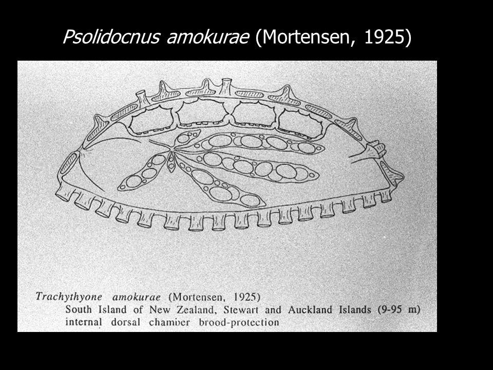 Psolidocnus amokurae (Mortensen, 1925)