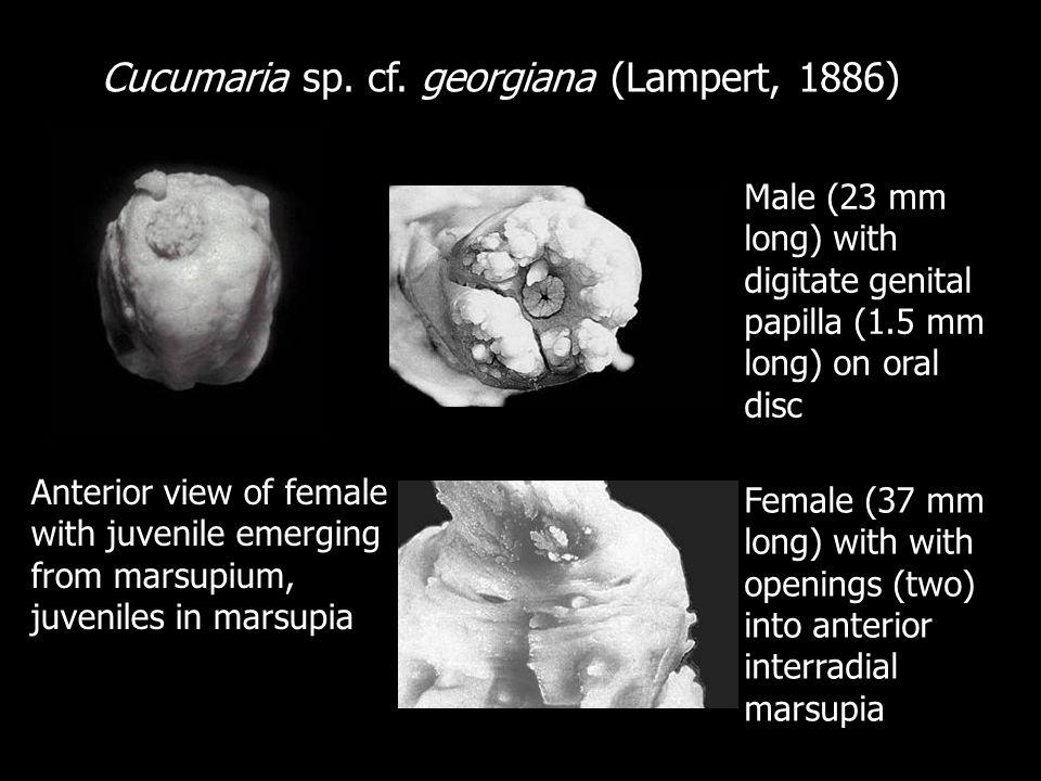 Cucumaria sp. cf. georgiana (Lampert, 1886) Anterior view of female with juvenile emerging from marsupium, juveniles in marsupia Male (23 mm long) wit