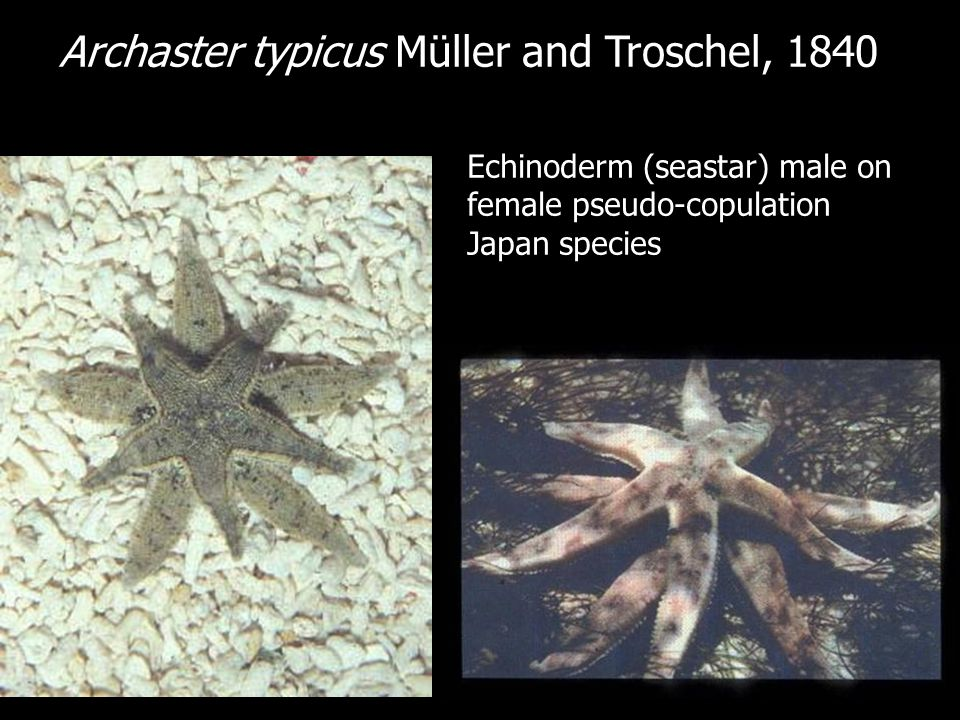 Echinoderm (seastar) male on female pseudo-copulation Japan species Archaster typicus Müller and Troschel, 1840