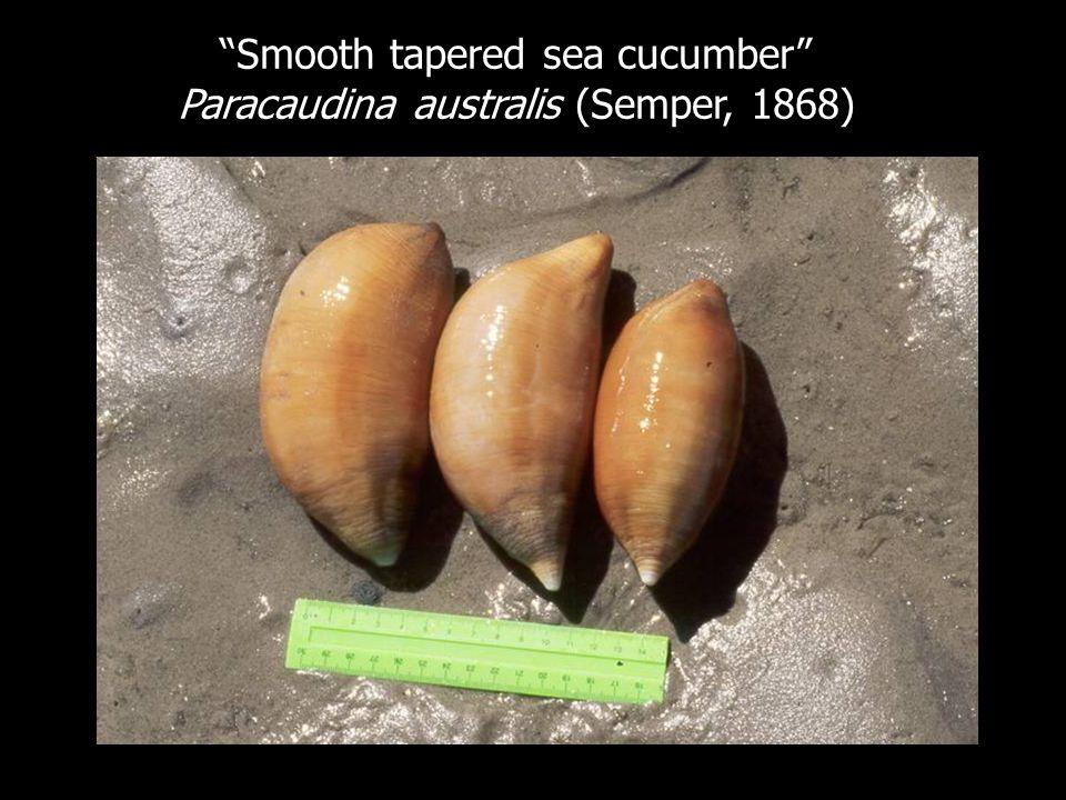 Smooth tapered sea cucumber Paracaudina australis (Semper, 1868)