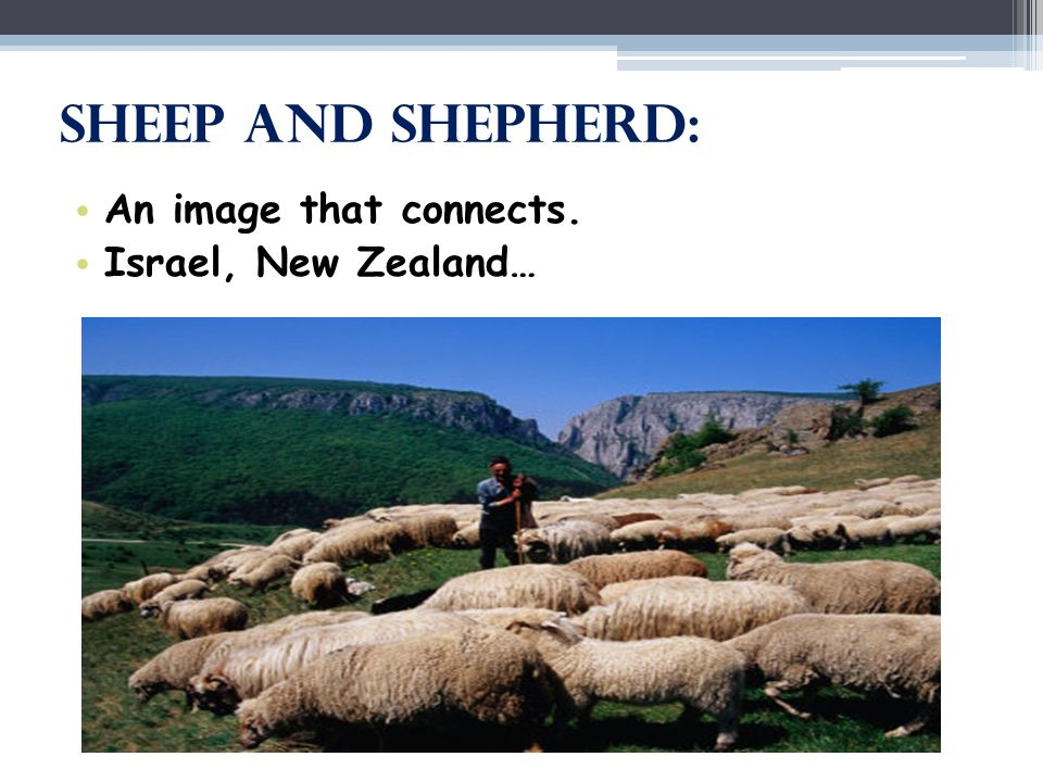 Sheep and Shepherd: An image that connects. Israel, New Zealand…