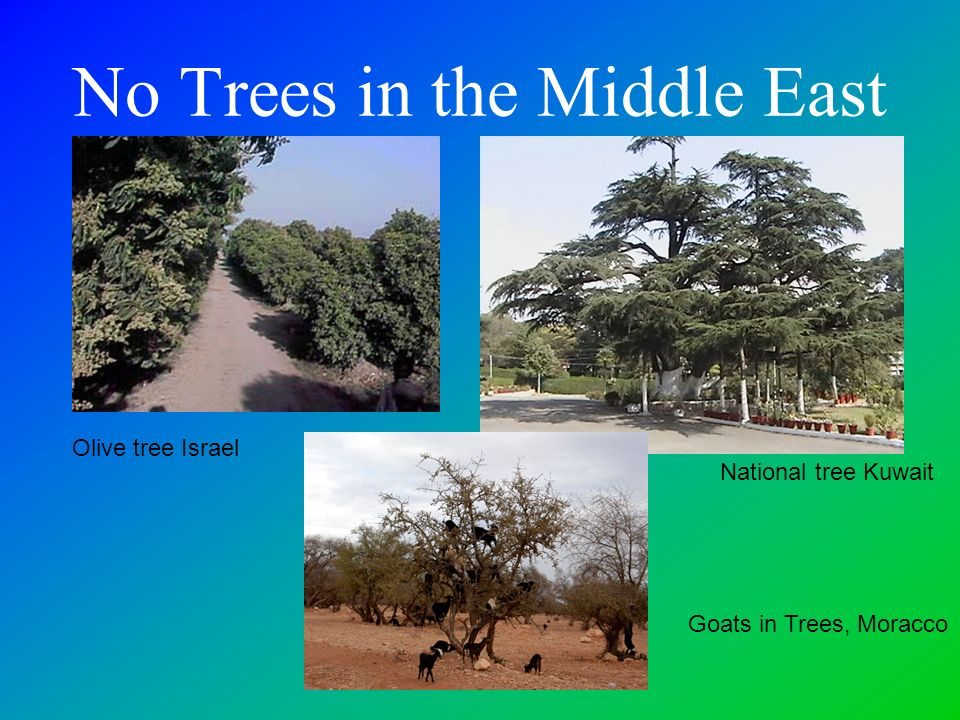 No Trees in the Middle East Goats in Trees, Moracco National tree Kuwait Olive tree Israel