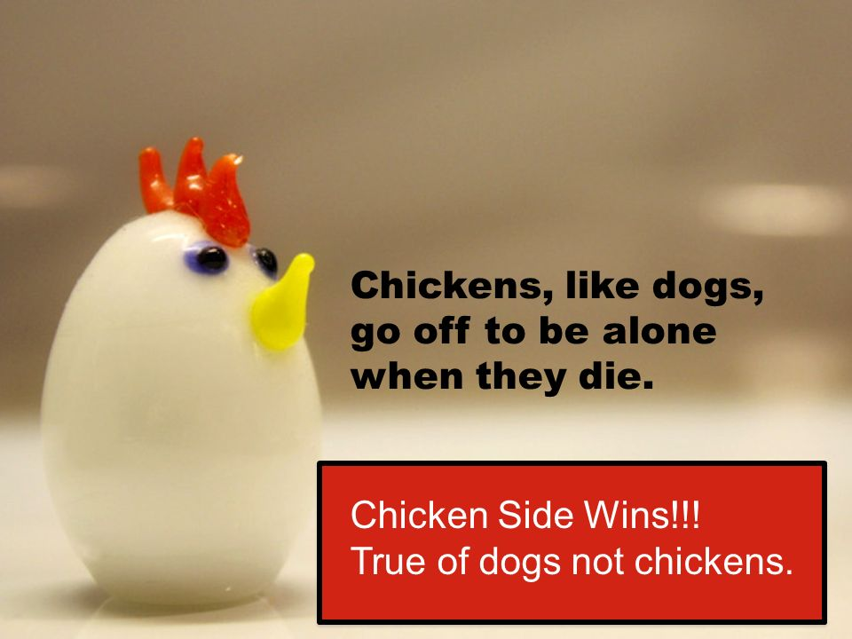 Chickens, like dogs, go off to be alone when they die.