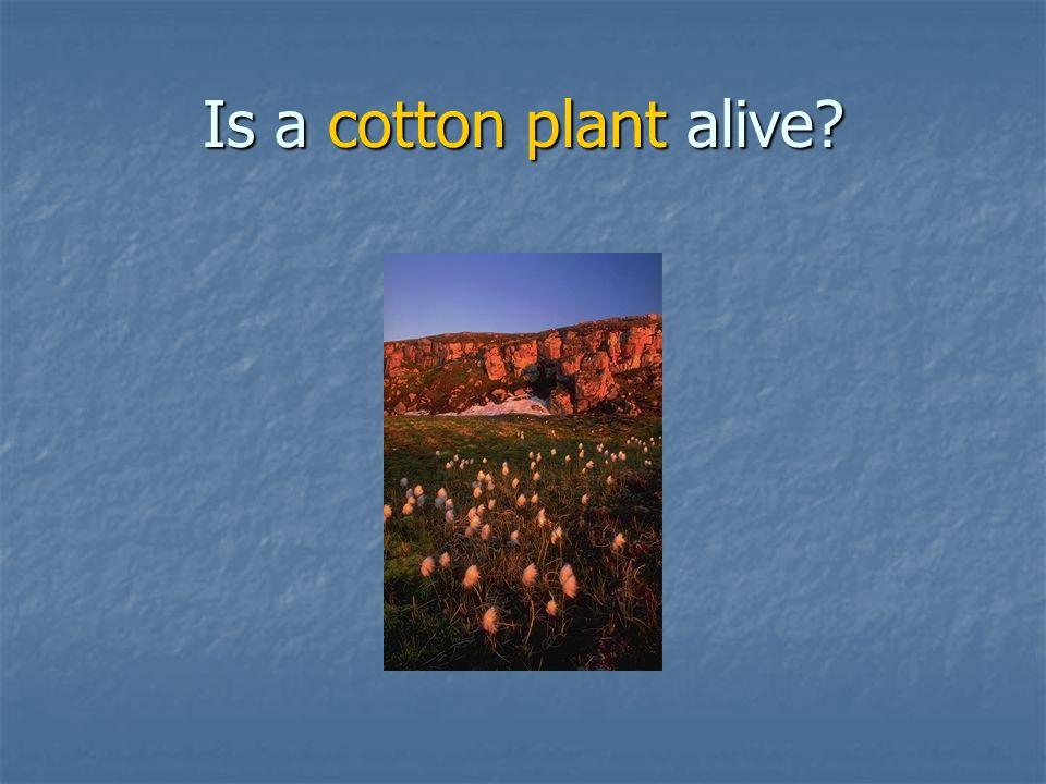 Is a cotton plant alive