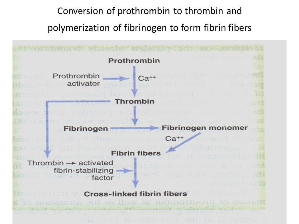 Conversion of prothrombin to thrombin and polymerization of fibrinogen to form fibrin fibers
