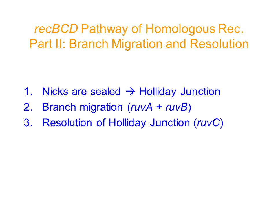 recBCD Pathway of Homologous Rec. Part II: Branch Migration and Resolution 1.Nicks are sealed Holliday Junction 2.Branch migration (ruvA + ruvB) 3.Res