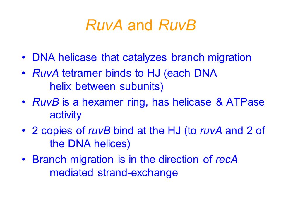 RuvA and RuvB DNA helicase that catalyzes branch migration RuvA tetramer binds to HJ (each DNA helix between subunits) RuvB is a hexamer ring, has hel