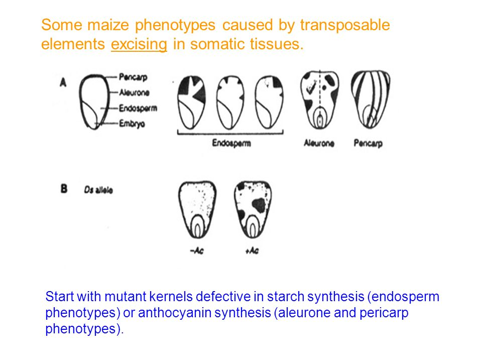 Start with mutant kernels defective in starch synthesis (endosperm phenotypes) or anthocyanin synthesis (aleurone and pericarp phenotypes). Some maize