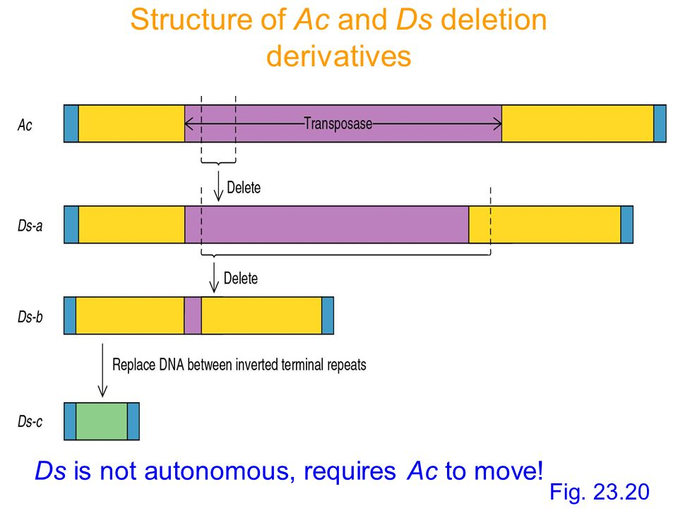 Structure of Ac and Ds deletion derivatives Fig. 23.20 Ds is not autonomous, requires Ac to move!