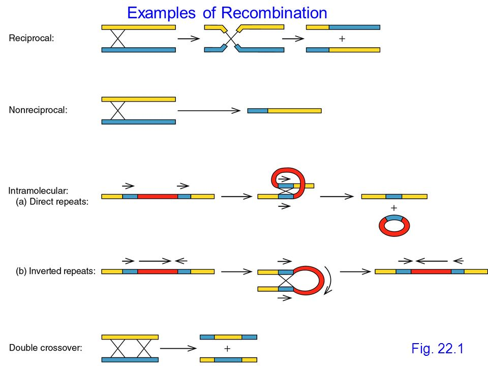 Ac and Ds Ds is derived from Ac by internal deletions Ds is not autonomous, requires Ac to move Element termini are an imperfect IR Ac encodes a protein that promotes movement - Transposase Transposase excises element at IR, and also cuts the target