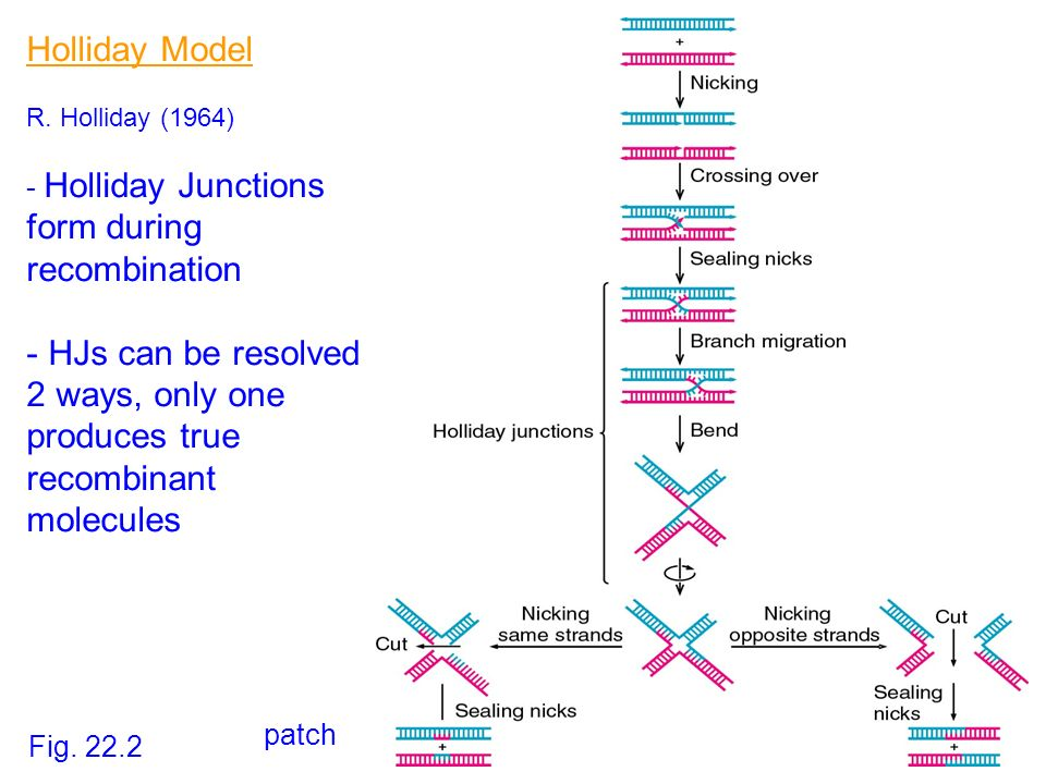 Holliday Model R. Holliday (1964) - Holliday Junctions form during recombination - HJs can be resolved 2 ways, only one produces true recombinant mole