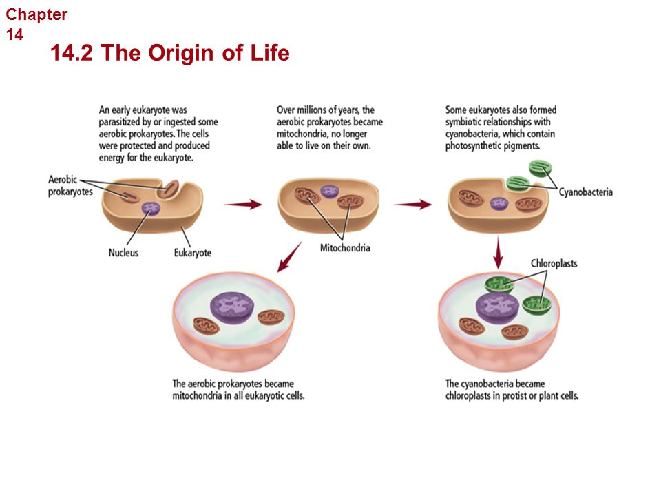 The Endosymbiont Theory The History of Life The ancestors of eukaryotic cells lived in association with prokaryotic cells. The relationship between th