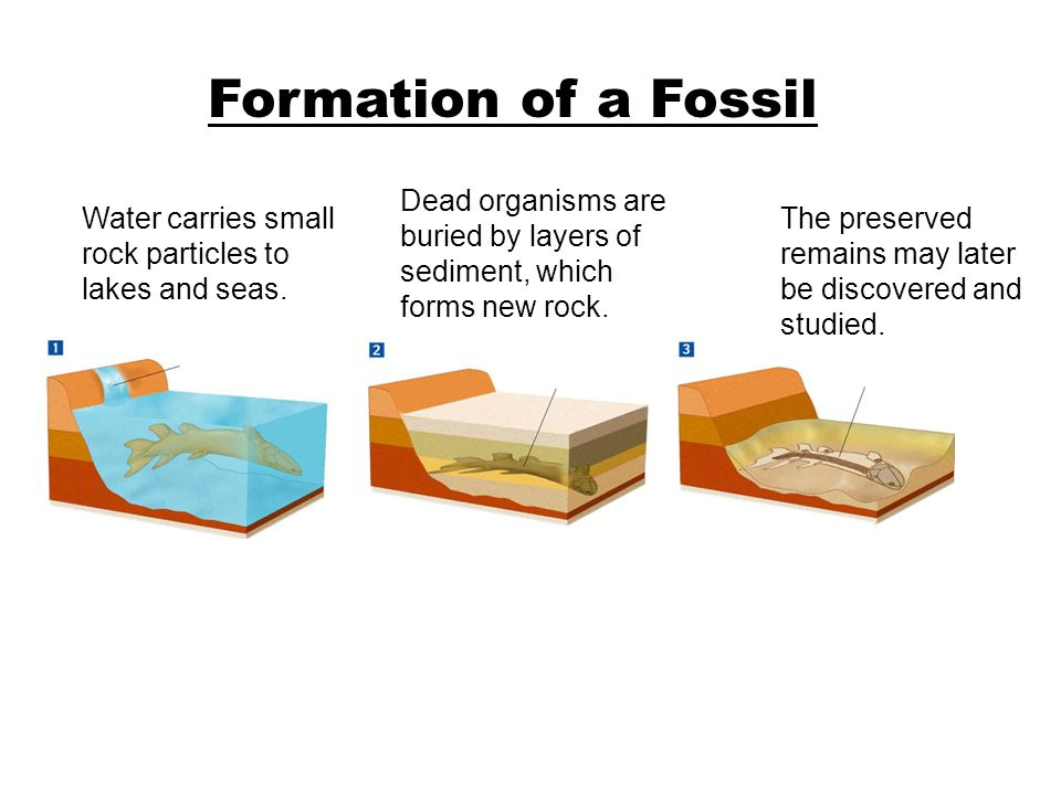 How Fossils Form Either the remains of the organism or some trace of its presence must be preserved. –Most fossils form in sedimentary rock –The quali