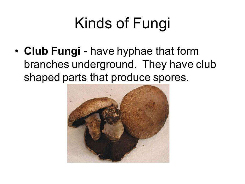 Kinds of Fungi Club Fungi - have hyphae that form branches underground. They have club shaped parts that produce spores.