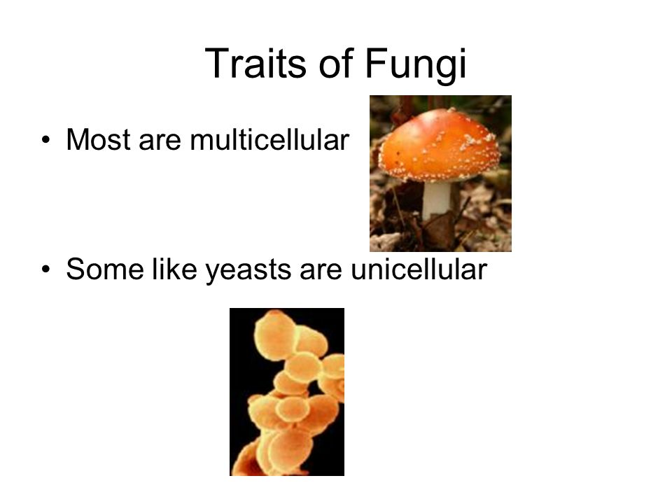 Traits of Fungi Most are multicellular Some like yeasts are unicellular
