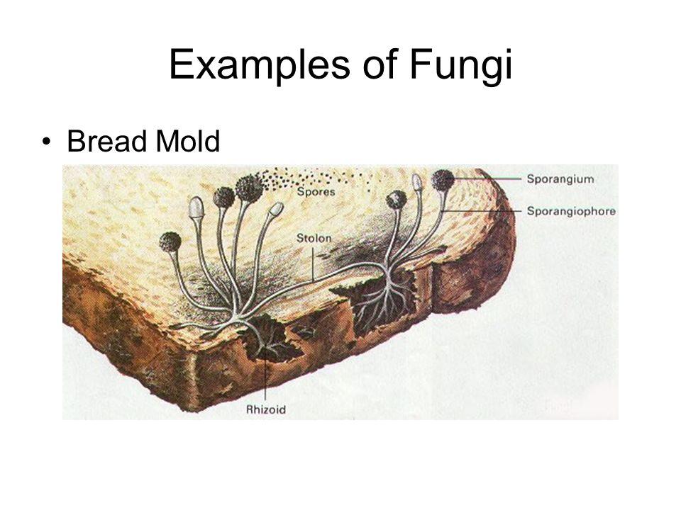 Examples of Fungi Bread Mold