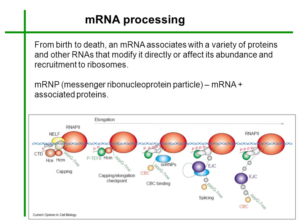 mRNA processing From birth to death, an mRNA associates with a variety of proteins and other RNAs that modify it directly or affect its abundance and