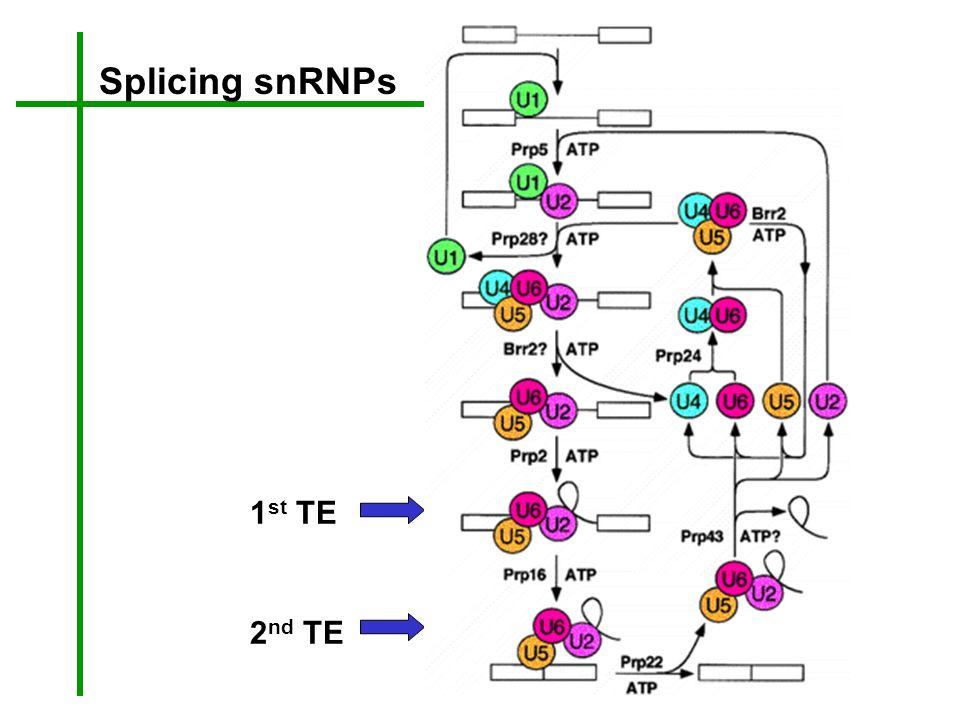 1 st TE 2 nd TE Splicing snRNPs