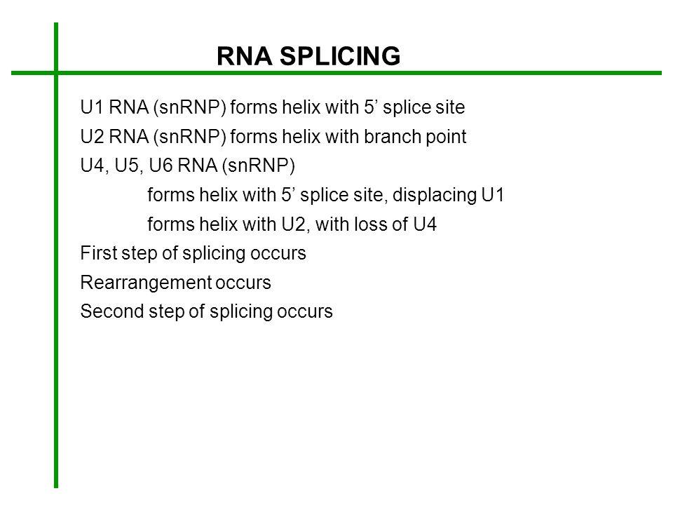 RNA SPLICING U1 RNA (snRNP) forms helix with 5 splice site U2 RNA (snRNP) forms helix with branch point U4, U5, U6 RNA (snRNP) forms helix with 5 spli