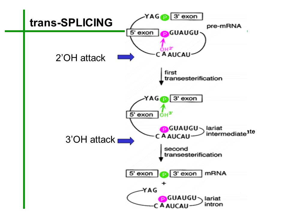 trans-SPLICING Y intermediate Y intron 2OH attack 3OH attack
