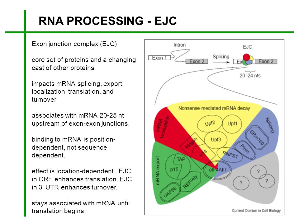 RNA PROCESSING - EJC Exon junction complex (EJC) core set of proteins and a changing cast of other proteins impacts mRNA splicing, export, localizatio