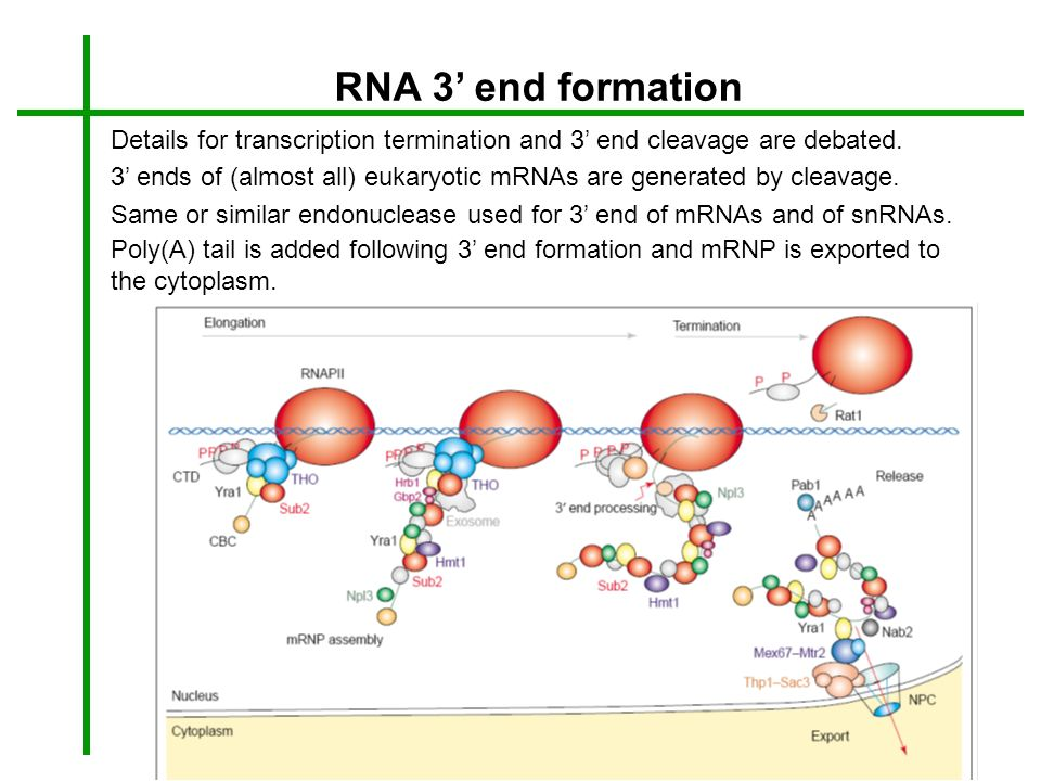 RNA 3 end formation Details for transcription termination and 3 end cleavage are debated. 3 ends of (almost all) eukaryotic mRNAs are generated by cle