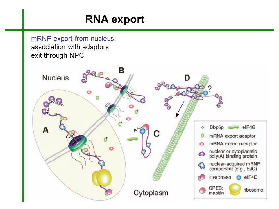 RNA export mRNP export from nucleus: association with adaptors exit through NPC