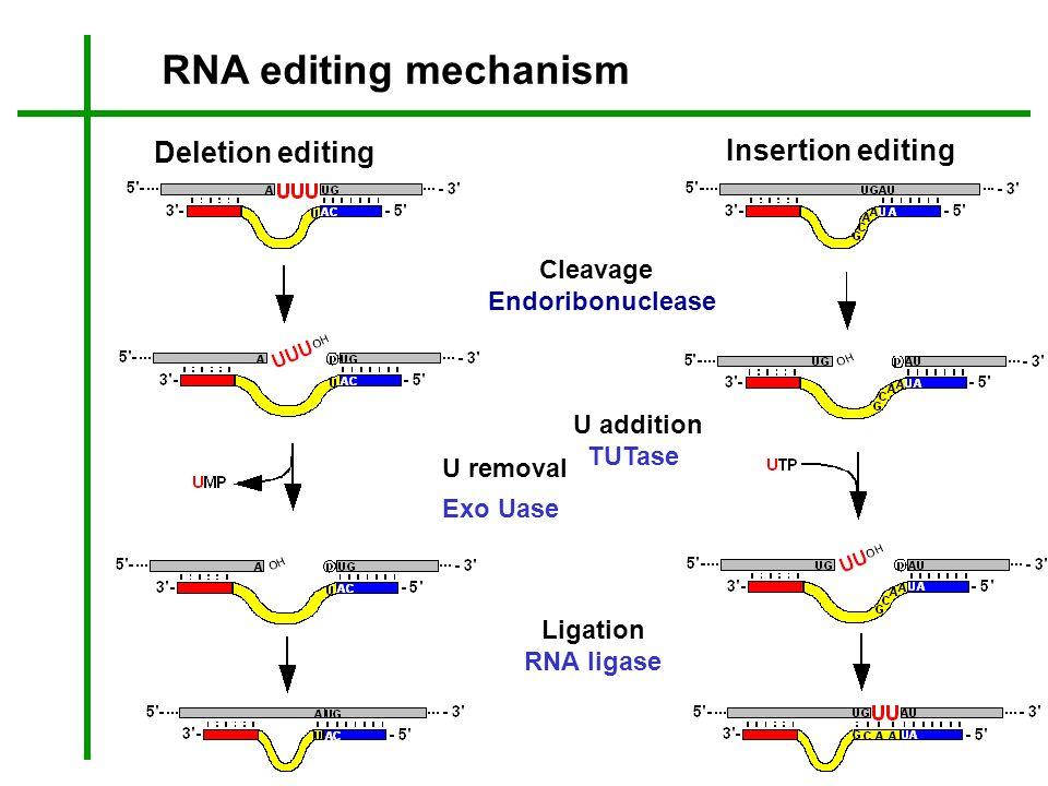 Insertion editing Deletion editing Cleavage Endoribonuclease U addition TUTase Ligation RNA ligase U removal Exo Uase RNA editing mechanism