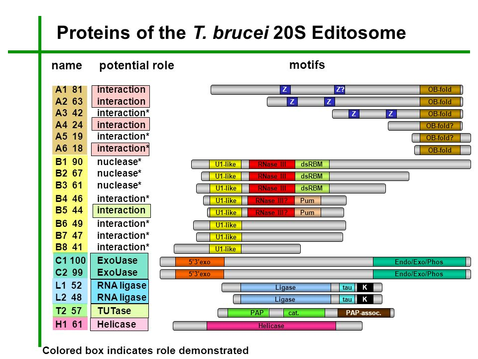 Proteins of the T. brucei 20S Editosome A1 81interaction A2 63interaction A3 42interaction* A4 24interaction A5 19interaction* A6 18interaction* B1 90