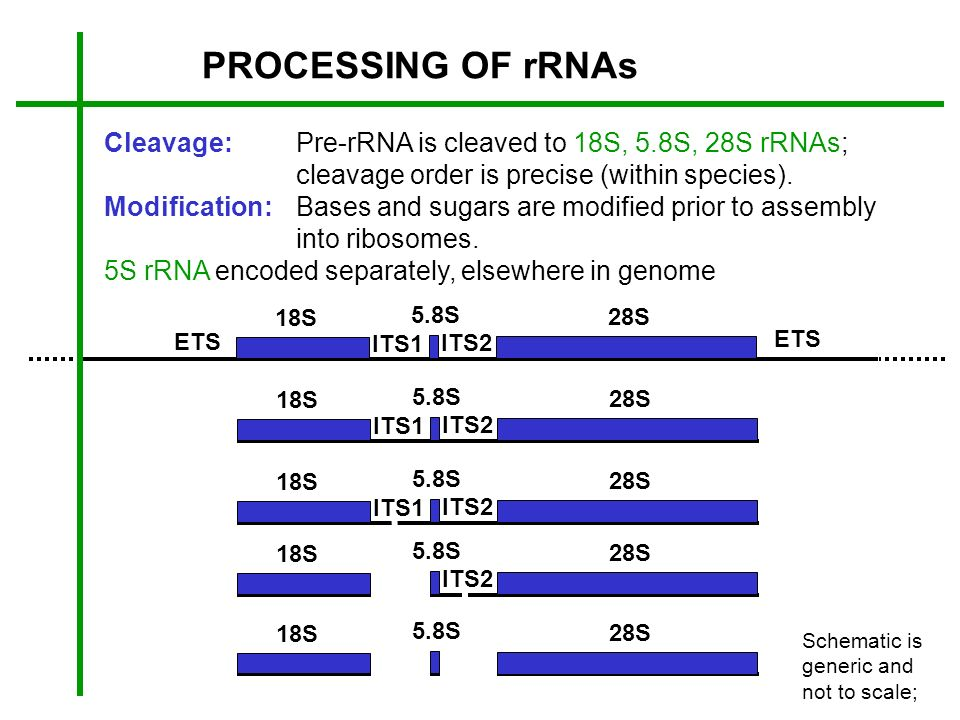 PROCESSING OF rRNAs Cleavage:Pre-rRNA is cleaved to 18S, 5.8S, 28S rRNAs; cleavage order is precise (within species). Modification:Bases and sugars ar