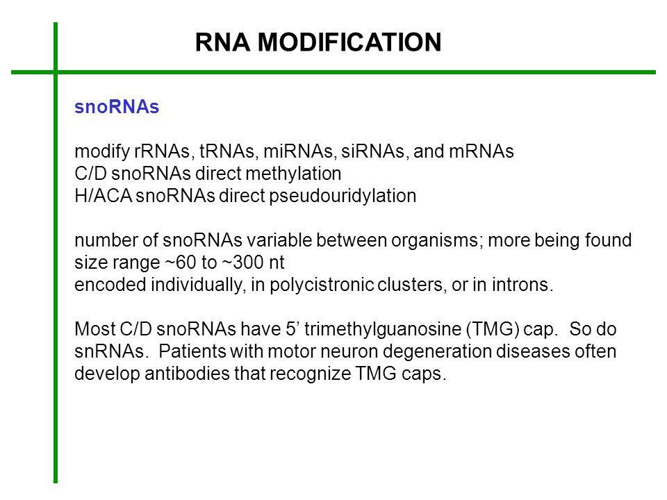 RNA MODIFICATION snoRNAs modify rRNAs, tRNAs, miRNAs, siRNAs, and mRNAs C/D snoRNAs direct methylation H/ACA snoRNAs direct pseudouridylation number o
