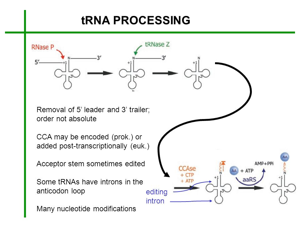 tRNA PROCESSING Removal of 5 leader and 3 trailer; order not absolute CCA may be encoded (prok.) or added post-transcriptionally (euk.) Acceptor stem