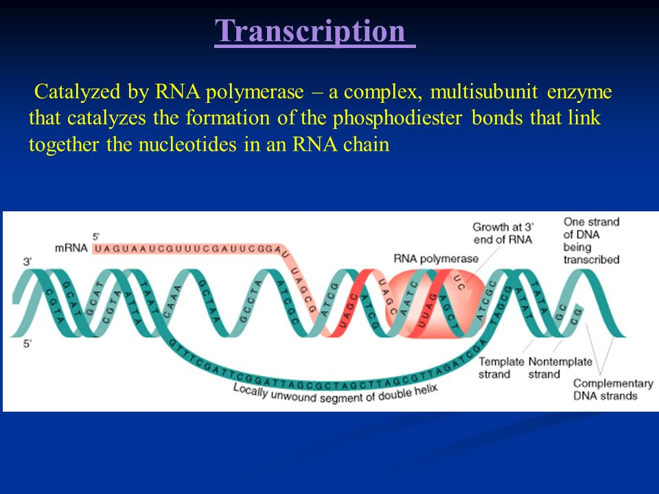 Only one strand of DNA serves as a template for making the RNA (transcription). Only one strand of DNA serves as a template for making the RNA (transc