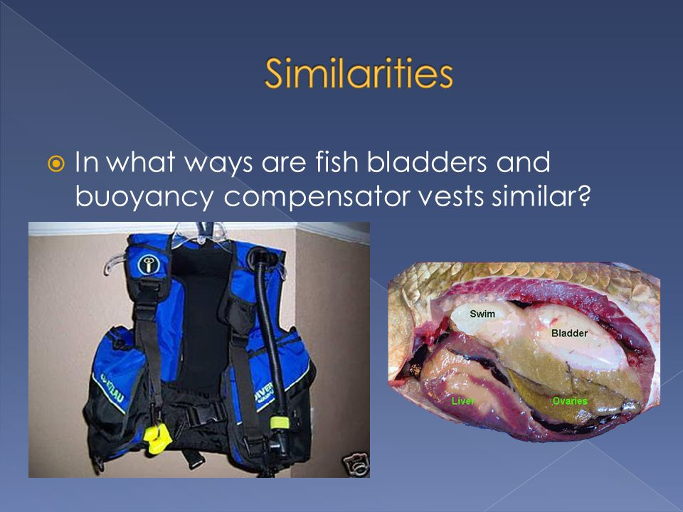 In what ways are fish bladders and buoyancy compensator vests similar