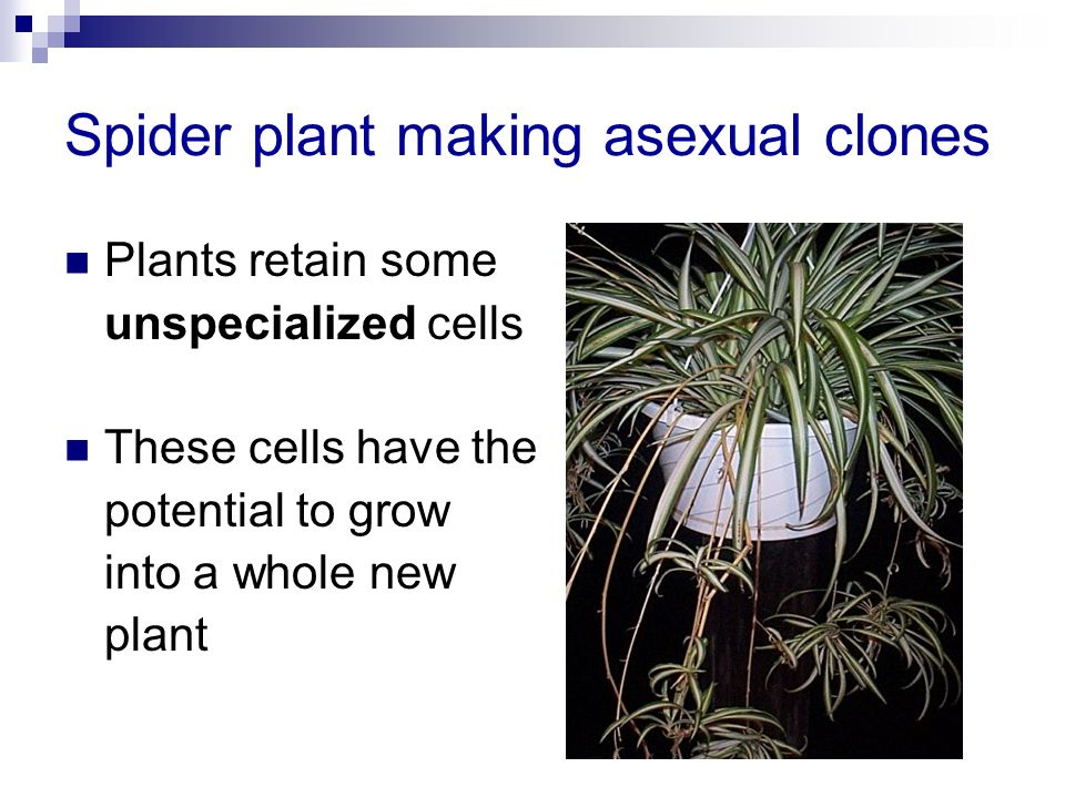 Spider plant making asexual clones Plants retain some unspecialized cells These cells have the potential to grow into a whole new plant