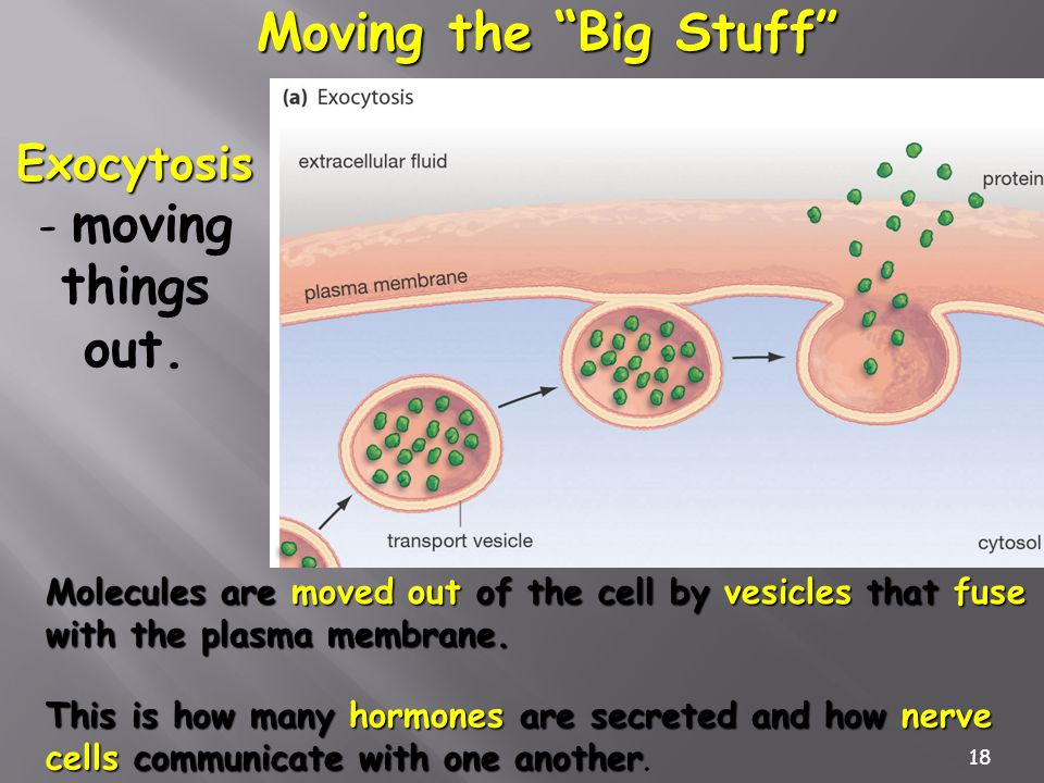 18 Moving the Big Stuff Molecules are moved out of the cell by vesicles that fuse with the plasma membrane. Exocytosis Exocytosis - moving things out.
