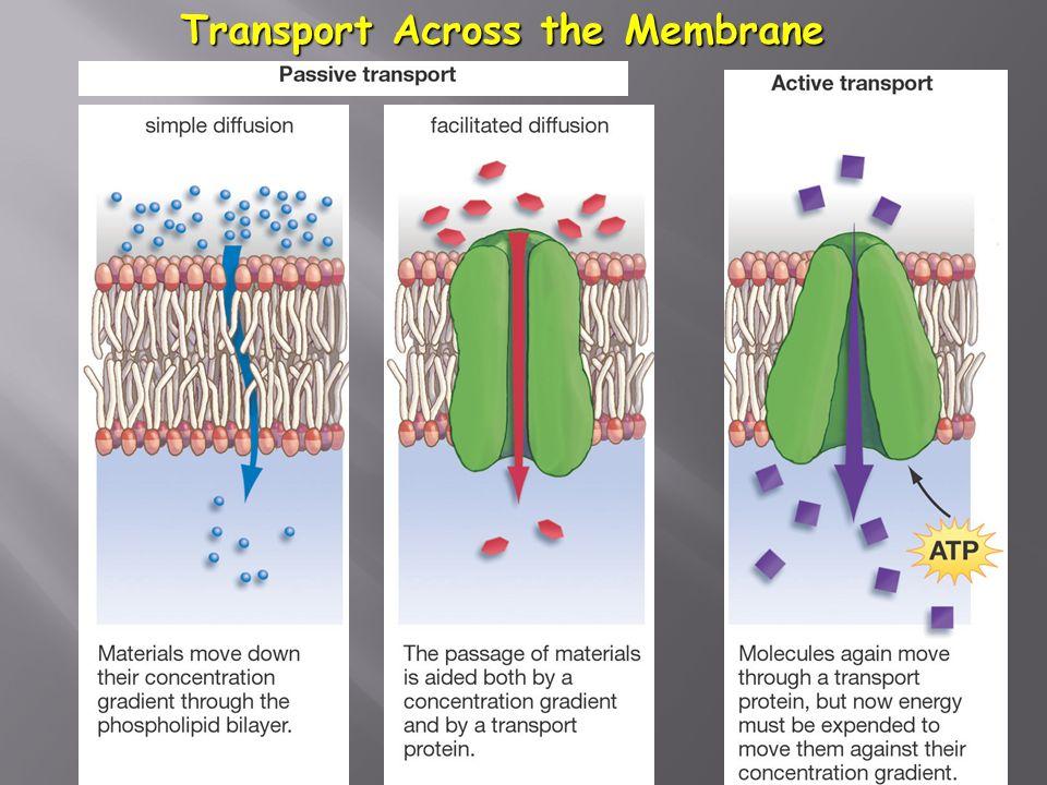 26 Transport Across the Membrane