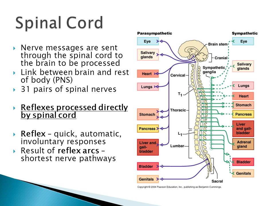 Nerve messages are sent through the spinal cord to the brain to be processed Link between brain and rest of body (PNS) 31 pairs of spinal nerves Refle