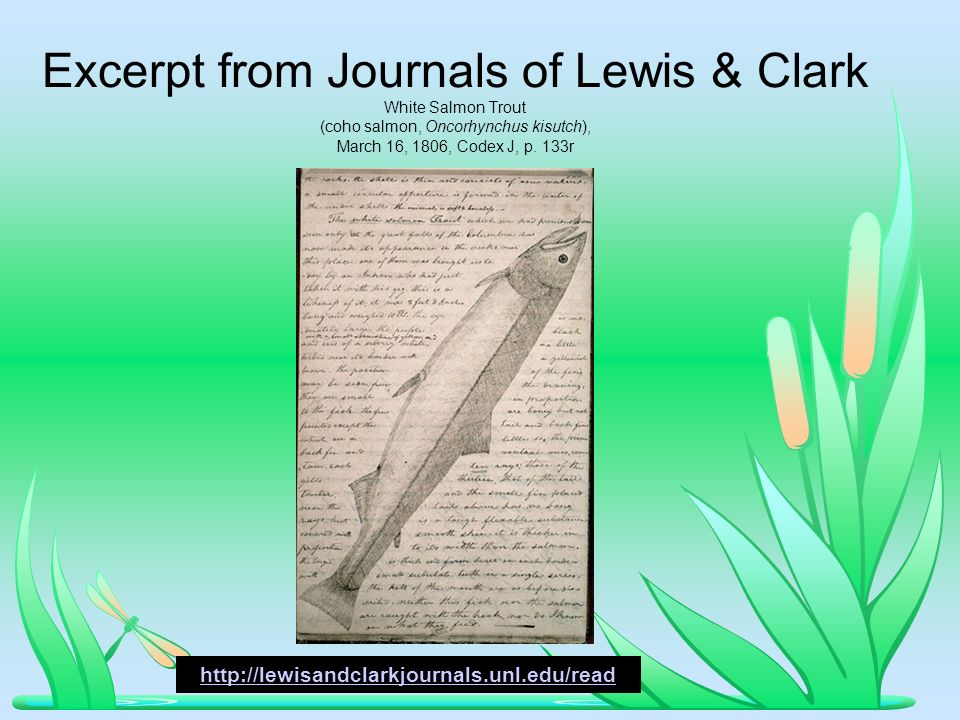 Excerpt from Journals of Lewis & Clark White Salmon Trout (coho salmon, Oncorhynchus kisutch), March 16, 1806, Codex J, p.
