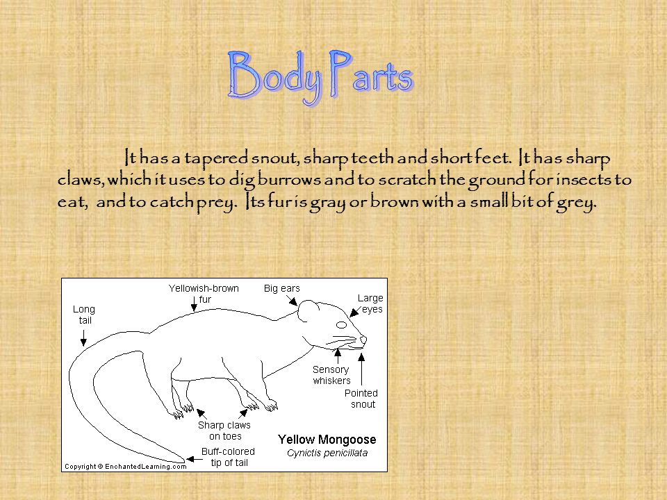 It has a tapered snout, sharp teeth and short feet. It has sharp claws, which it uses to dig burrows and to scratch the ground for insects to eat, and