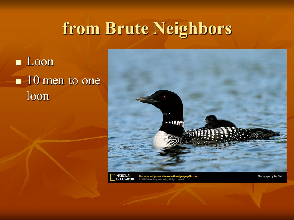 from Brute Neighbors Loon Loon 10 men to one loon 10 men to one loon