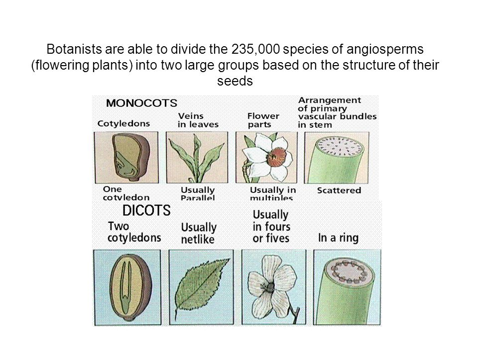 Botanists are able to divide the 235,000 species of angiosperms (flowering plants) into two large groups based on the structure of their seeds