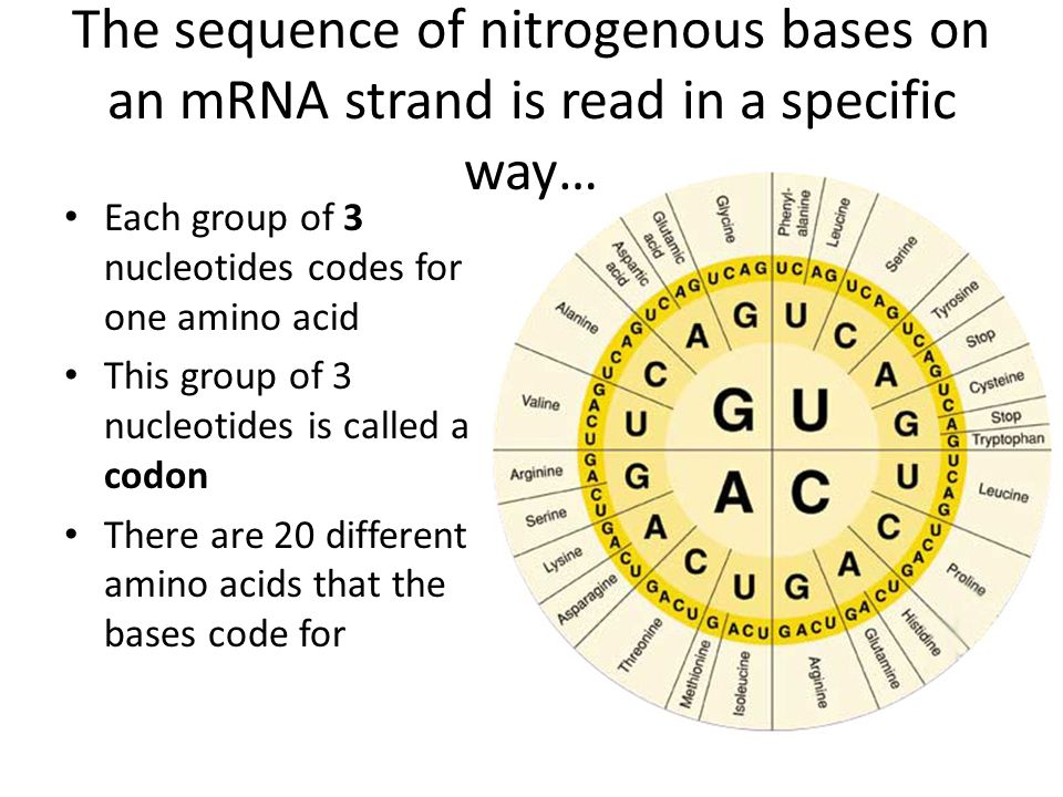 The sequence of nitrogenous bases on an mRNA strand is read in a specific way… Each group of 3 nucleotides codes for one amino acid This group of 3 nu