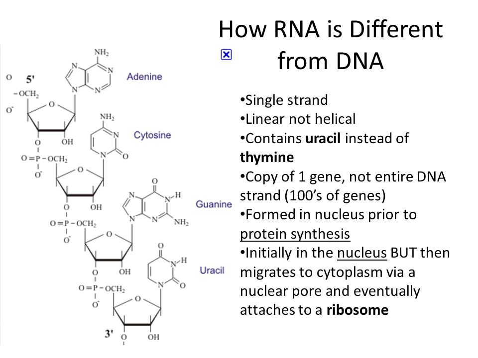 How RNA is Different from DNA Single strand Linear not helical Contains uracil instead of thymine Copy of 1 gene, not entire DNA strand (100s of genes