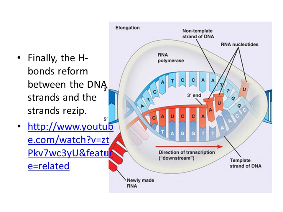 Finally, the H- bonds reform between the DNA strands and the strands rezip. http://www.youtub e.com/watch?v=zt Pkv7wc3yU&featur e=related http://www.y