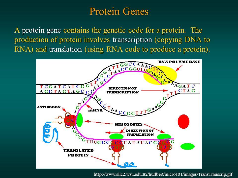 http://nobelprize.org/medicine/educational/dna/a/transla tion/polysome_em.html http://users.rcn.com/jkimball.ma.ultranet/BiologyPages/M/Mille r_Beatty3.jpg Transcription Translation