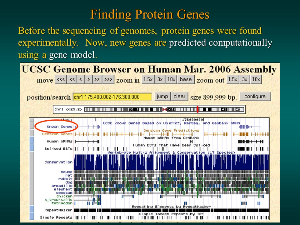 Finding Protein Genes Before the sequencing of genomes, protein genes were found experimentally.