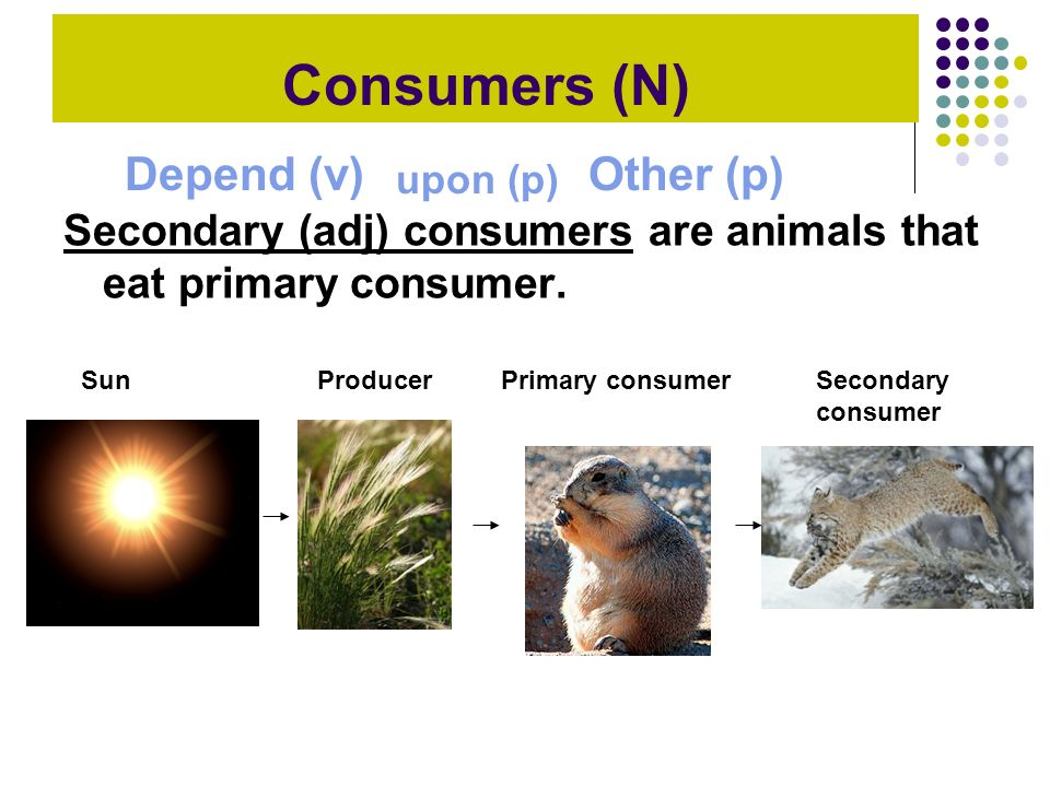 Secondary (adj) consumers are animals that eat primary consumer. SunProducerPrimary consumerSecondary consumer Consumers (N) Depend (v) upon (p) Other